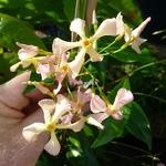 Trachelospermum jasminoides Pink Showers (3)