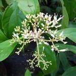 Viburnum cylindricum