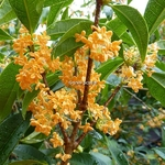 Osmanthus fragrans Aurantiacus (5)