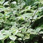 Orixa japonica Variegata