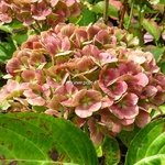 Hydrangea macrophylla Topaz
