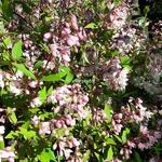 Deutzia gracilis Yuki Cherry Blossom (10)