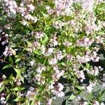 Deutzia gracilis Yuki Cherry Blossom (1)