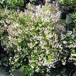 Deutzia gracilis Yuki Cherry Blossom (2)