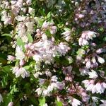 Deutzia gracilis Yuki Cherry Blossom (3)