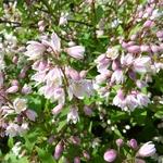 Deutzia gracilis Yuki Cherry Blossom (4)