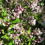 Deutzia gracilis Yuki Cherry Blossom (5)