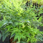 Nandina domestica Lemon Lime (2)
