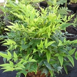 Nandina domestica Lemon Lime (1)