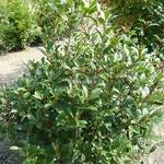 Photinia fraseri Mandarino (1)