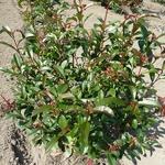 Photinia fraseri Mandarino (3)