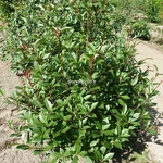 Photinia fraseri Mandarino (4)