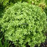 Pittosporum tenuifolium Golf Ball (3)