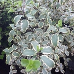 Pittosporum tenuifolium Wendle Channon (2)