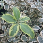 Pittosporum tenuifolium Wendle Channon (1)