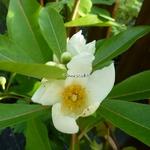 Gordlinia grandiflora (2)
