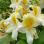 Rhododendron AC Toucan