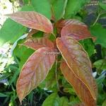 Cephalanthus occidentalis Sugar Shack (2)