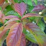 Cephalanthus occidentalis Sugar Shack (5)