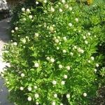 Cephalanthus occidentalis Fiber Optics (3)