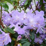 Rhododendron augustinii Blaney's Blue (3)