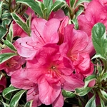 Rhododendron Salmon's Leap (1)