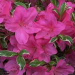 Rhododendron Salmons Leap