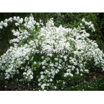 exochorda%20macrantha%20the%20bride