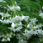 Styrax japonicus (2)