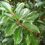 Viburnum awabuki (1)