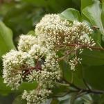 Viburnum awabuki (2)