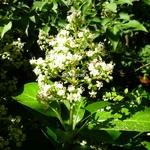 Viburnum awabuki (3)