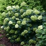 Hydrangea arborescens Lime Rickey (1)