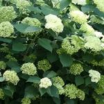 Hydrangea arborescens Lime Rickey (2)