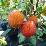 Arbutus unedo Atlantic (1)