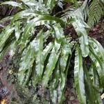 Asplenium scolopendrium (2)