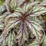 Begonia Benitochiba (2)
