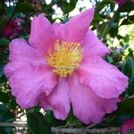 Camellia sasanqua Crimson King (2)