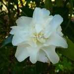 Camellia sasanqua Little Pearl (2)