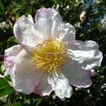 Camellia sasanqua Narumi Gata (1)