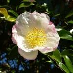 Camellia sasanqua Narumi Gata (3)