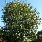 Camellia sasanqua Narumi Gata (2)