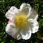 Camellia sasanqua Narumi Gata (5)