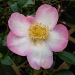 Camellia sasanqua Rainbow (4)