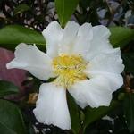Camellia sasanqua Setsugekka (1)