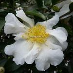 Camellia sasanqua Setsugekka (2)