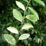 Camellia sinensis Variegata (1)