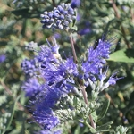 Caryopteris clandonensis Heavenly Blue (1)