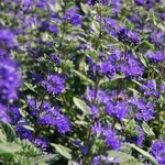 Caryopteris clandonensis Heavenly Blue (2)