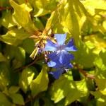 Ceratostigma willmotianum Aurea